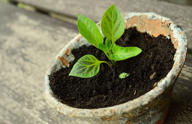 Młoda roślina w doniczce