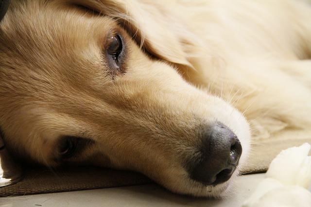 przegrzany pies