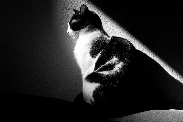 czarno- biały kot