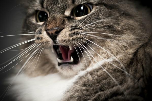 kot prychający