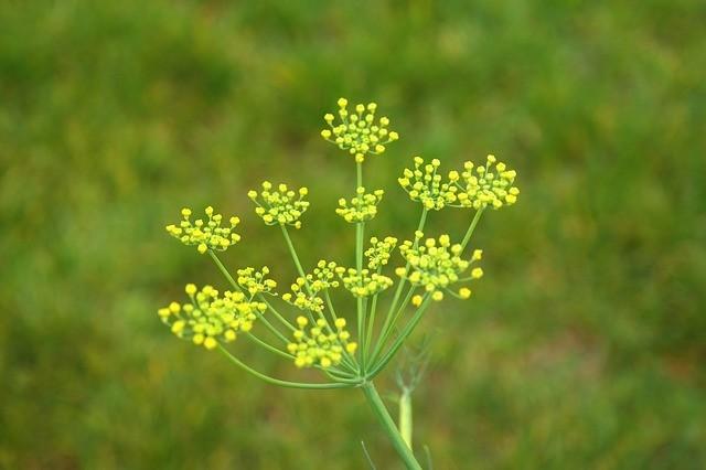 kwiat kopru włoskiego