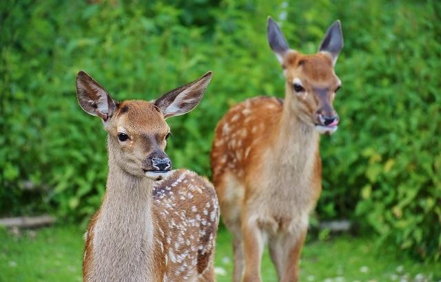 Dwa jelenie