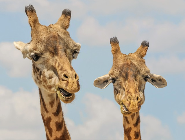 dwie żyrafy