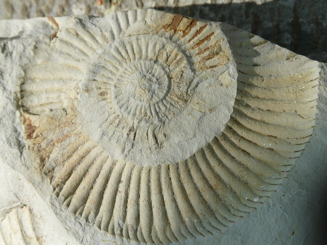 skamielina amonita